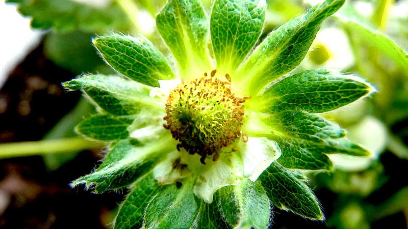 stroberi-bunga-buah